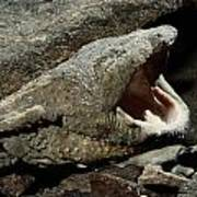 A Hellbender Salamander In Its Rocky Poster