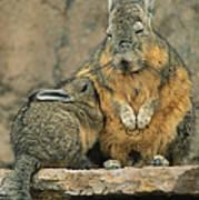 A Herbivorous Viscacha Nurses Her Baby Poster