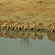 A Herd Of Impala Drinking At A Watering Poster