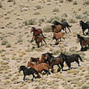 A Herd Of Wild Horses Gallops Poster