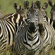 A Herd Of Zebras Standing Alert Poster