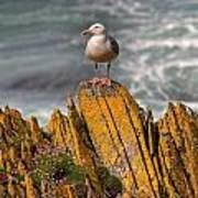A Herring Gull, Colonsay, Scotland Poster