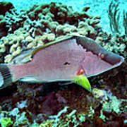 A Hogfish Swimming Above A Coral Reef Poster