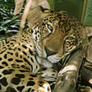 A Jaguar Rests On The Jungle Floor Poster