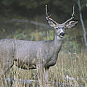 A Large Antlered White-tailed Deer Poster