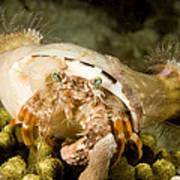 A Large Hermit Crab With Sea Anemones Poster