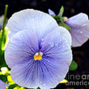 A Lavender Pansy Poster