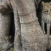 A Leopard And Cub Inside A Giant Baobab Poster