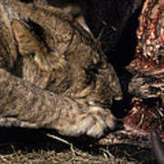 A Lion Feeding On The Carcass Of A Cape Poster