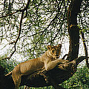 A Lion Panthera Leo Relaxes On A Tree Poster