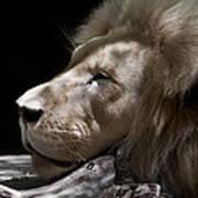A Lions Portrait Poster