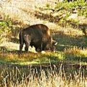A Lone Bison In Yellowstone 9467 Poster