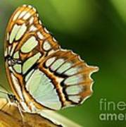 A Malachite Butterfly Poster