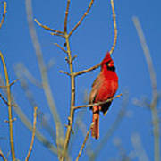 A Male Cardinal Sings In A Suburban Poster