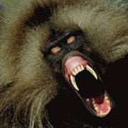 A Male Gelada Baboon Bares His Fangs Poster