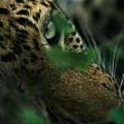 A Male Leopard Dozes Poster