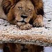 A Male Lion Panthera Leo Sleeps Poster