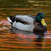 A Male Mallard Duck Drinking.  Fall Poster
