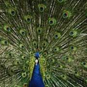 A Male Peacock Displays His Feathers Poster