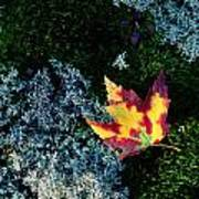 A Maple Leaf Lies On A Bed Of Moss Poster