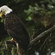 A Mature Bald Eagle Is Perched Atop Poster