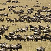 A Migrating Herd Of Wildebeests Poster