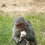 A Monkey Enjoying An Ice Cream Cone Inside Delhi Zoo Poster