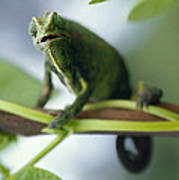 A Montane Side-striped Chameleon Poster