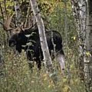 A Moose Alces Alces Americana With An Poster