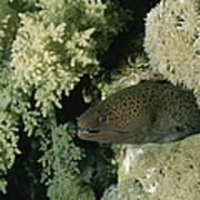 A Moray Eel Pokes Its Head Poster