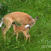 A Mother's Love - Doe And Fawn Poster