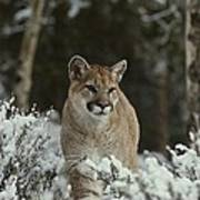 A Mountain Lion, Felis Concolor Poster
