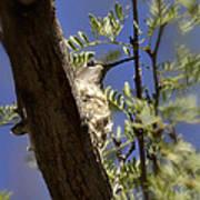 A Nesting Hummingbird Poster
