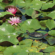 A Painted Turtle Rests On A Water Lily Poster