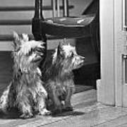A Pair Of Australian Silky Terriers Poster by Willard Culver