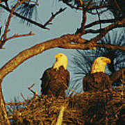 A Pair Of Bald Eagles Perch Poster