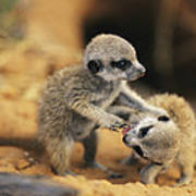 A Pair Of Four-week-old Meerkat Pups Poster