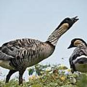 A Pair Of Hawaiian Geese, Or Nene Poster