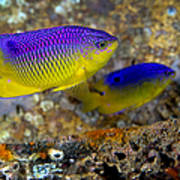 A Pair Of Juvenile Cocoa Damselfish Poster by Michael Wood