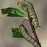 A Pair Of Monarch Caterpillars Poster