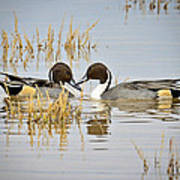 A Pair Of Northern Pintail Ducks  Poster