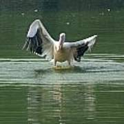 A Pelican Drying Its Wings After Landing In The Lake Inside Delhi Zoo Poster