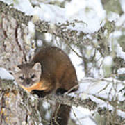 A Pine Marten Looks For Food Poster