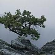 A Pine Tree Clings To A Rocky Ridge Poster