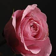 A Pink Rose Rosaceae Poster