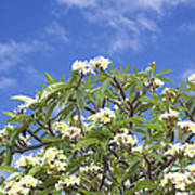 A Plumeria Caracasana Tree In Full Poster