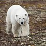 A Polar Bear Ursus Maritimus Walking Poster