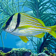 A Porkfish Swims By Sea Plumes Poster