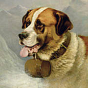 A Portrait Of A St. Bernard Poster by James E Bourhill