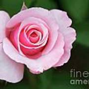 A Pretty Pink Rose Poster